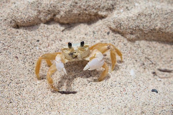 A Ghost Crab in Toiny Bay