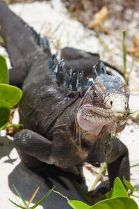 An endangered Lesser Antillean (West Indies) Iguana