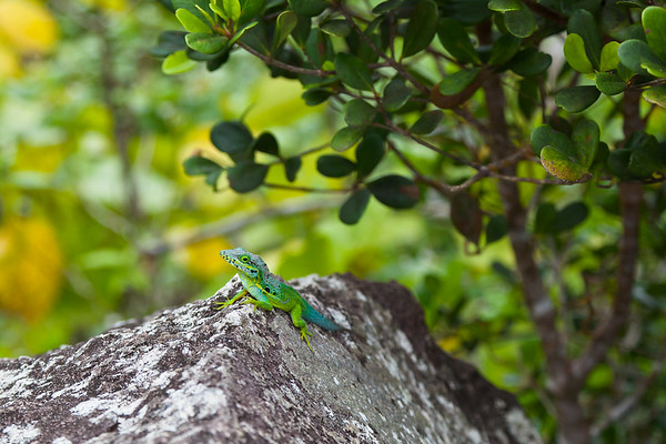 A Green Tree Lizard at the top of The Quill