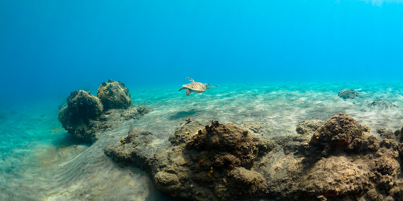 A Green Sea Turtle swimming beneath Port Oranje
