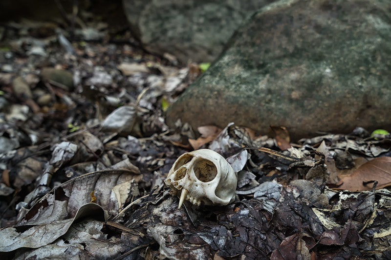 The partial skull of a Green Vervet Monkey in Stone Fort Canyon.