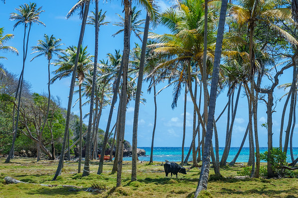 Coconut groves in Spring Bay, Bequia
