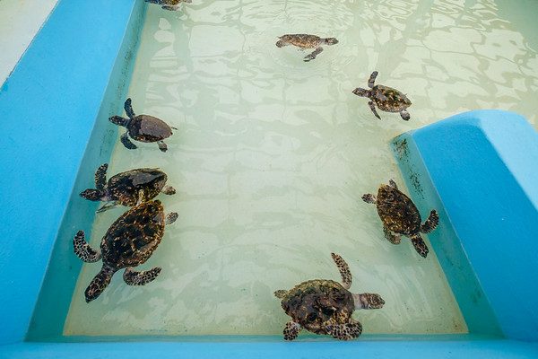 Small hawksbill turtles, all about 4-5 inches in length.