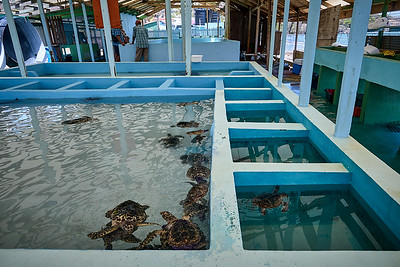 Small hawksbill turtles, all around 4-5 inches in length.  The smaller pools are to isolate the injured & sick.