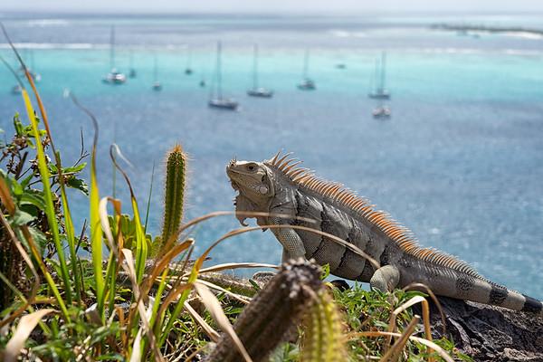 Iguana on top of Petit Bateau.