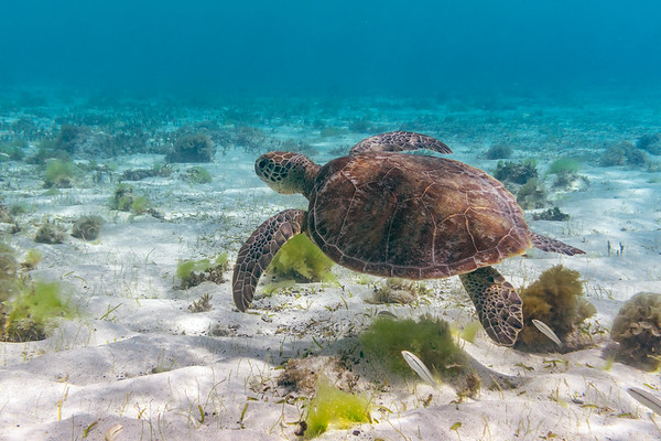 Sea turtle in the shallow water near Baradel island.