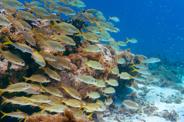 Smallmouth grunts, yellowtail goatfish, striped parrotfish, and brown chromis near Jamesby island.  And can you spot the queen angelfish?
