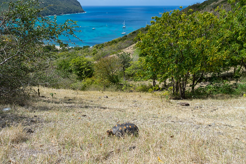 A land tortoise on the trail from Chatham Bay to Ashton, Union Island.
