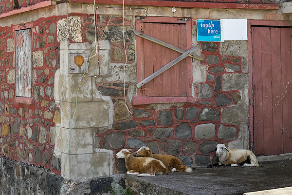 Goats resting in the shade of an old building in Ashton, Union Island.