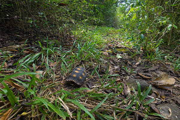 A small land tortoise on a hiking trail above Chatham Bay, Union Island.
