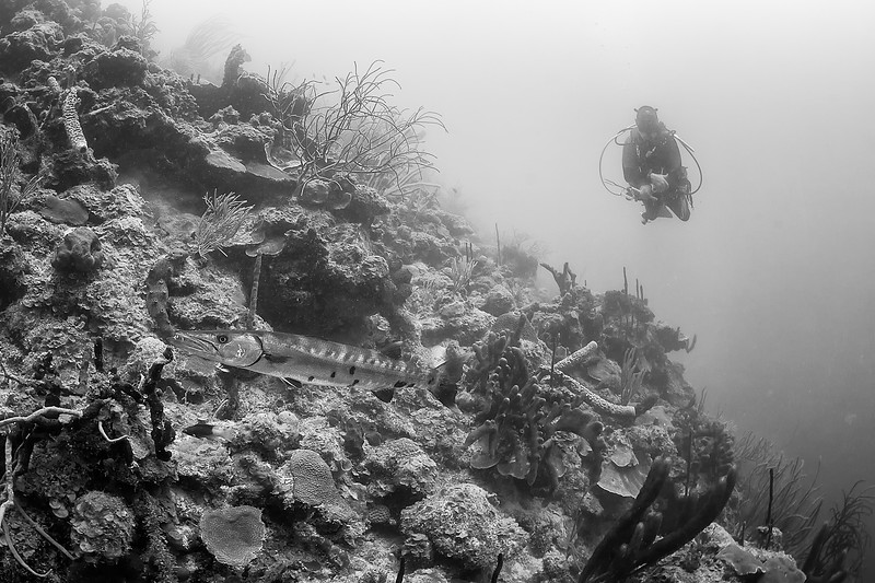 Diving with the local barracuda in St Croix