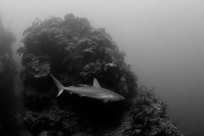 A Caribbean reef shark waiting for lionfish kills