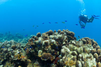 Blue Chromis, St Croix