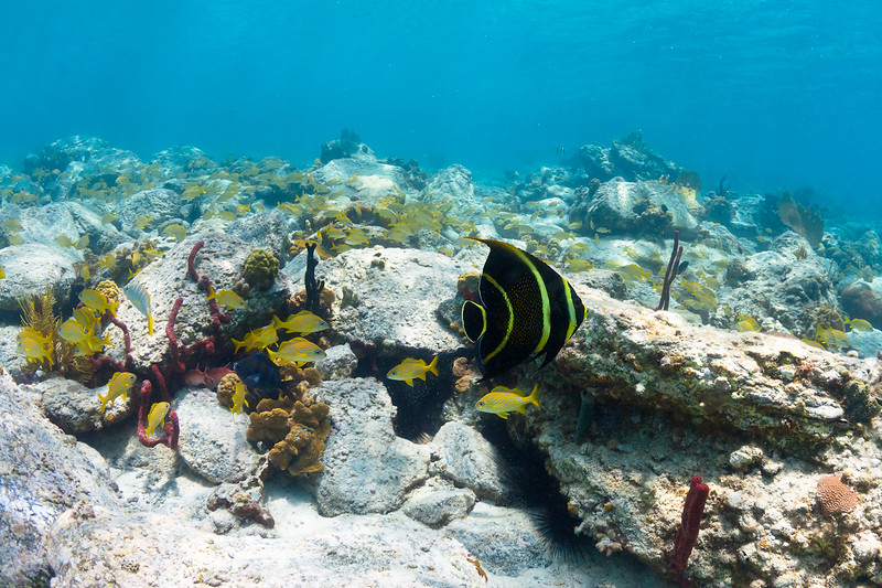 Juvenile French Angelfish and French Grunts in Caneel Bay, St John