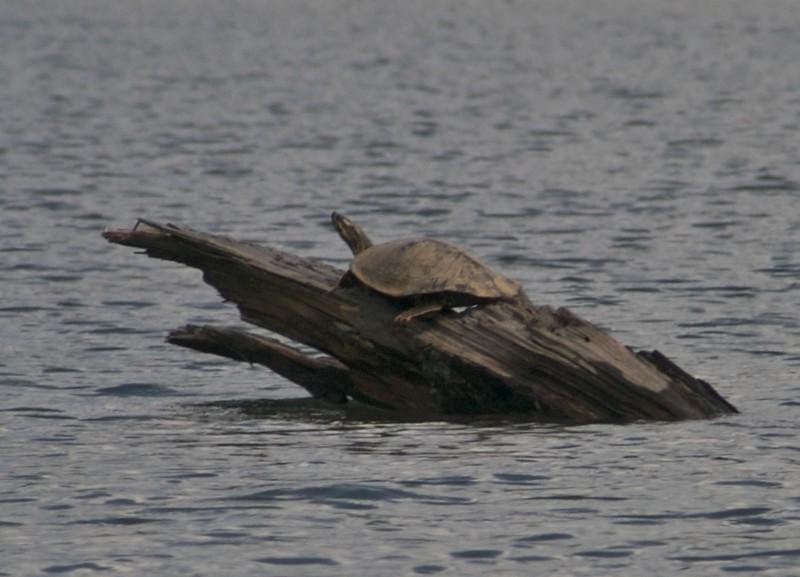 Mr. Turtle sunbathing