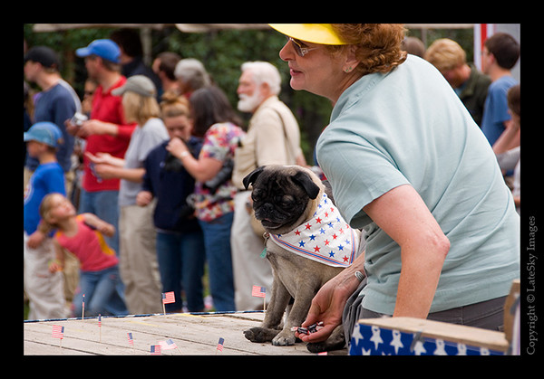 613 - A patriotic pug-nosed dog riding in the parade.