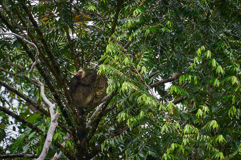 Three-toed sloth in Tortuguero National Park