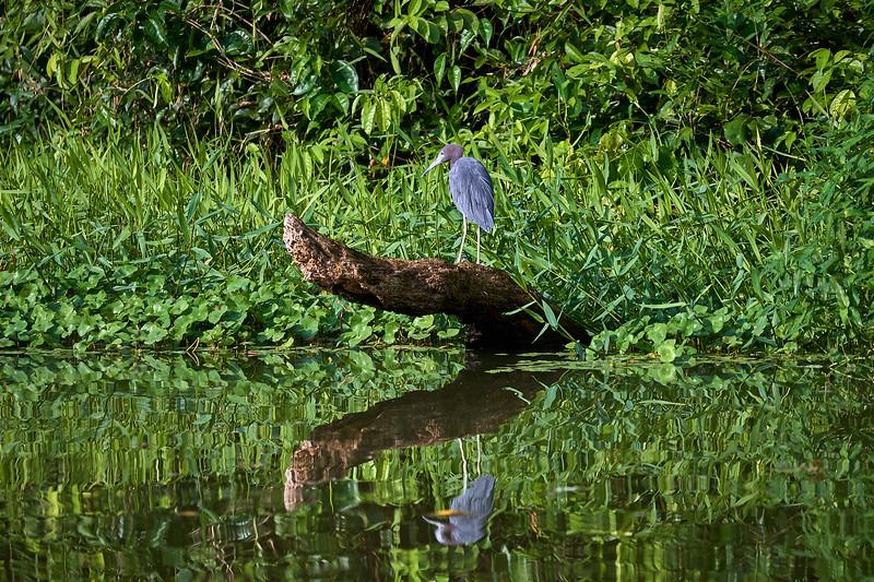 A Little Blue Heron in Tortuguero National Park