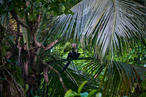 A White-headed Capuchin Monkey trying to eat a whole coconut - he didn't get it