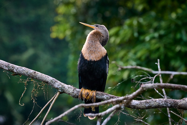 "The Anhinga, which is Brazilian for ""devil bird"""