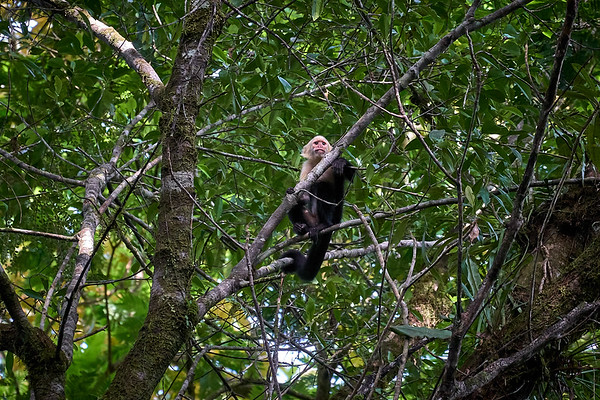 White-faced Capuchin Monkey in Tortuguero National Park