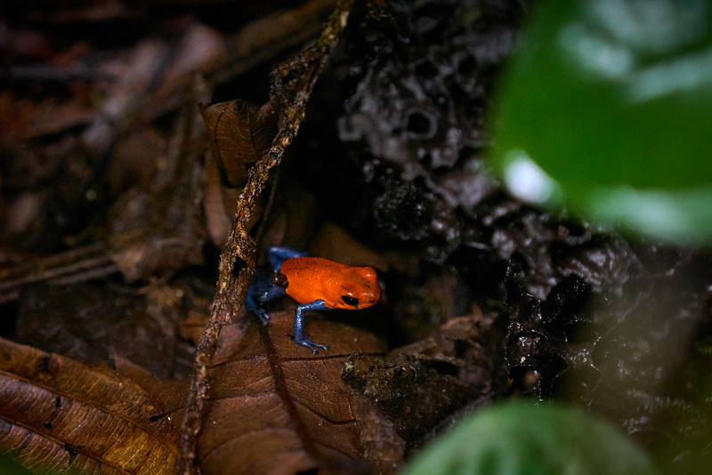 "A ""blue jeans"" poison dart frog"