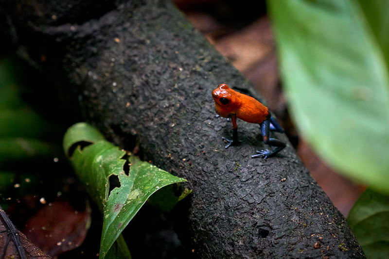 "A ""blue jeans"" poison dart frog"