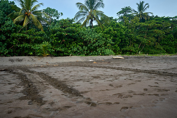 Green sea turtle tracks on the beach of Tortuguero National Park