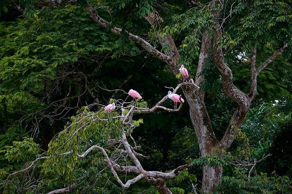 Roseate Spoonbills on the Rio Caño Negro