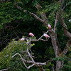 Roseate Spoonbills on the Rio Caño Negro