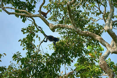 Both a Howler Monkey and Spider Monkey in the same tree in Tortuguero National Park