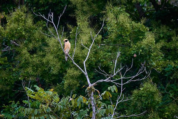 The seldom-seen Laughing Falcon, a snake eater, near Rio Parismina