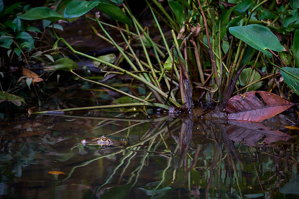 Small Caiman in Tortuguero National Park