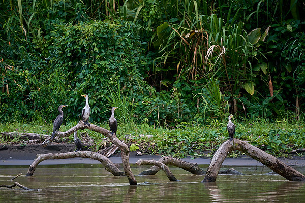 Neotropic Cormorants on the Rio Caño Negro