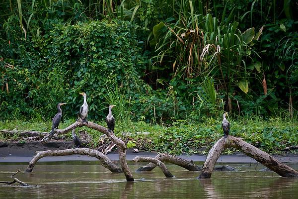 Neotropic Cormorants on the Rio Caño Negro