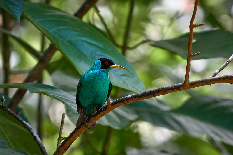 Green Honeycreeper at Ecocentro Danaus