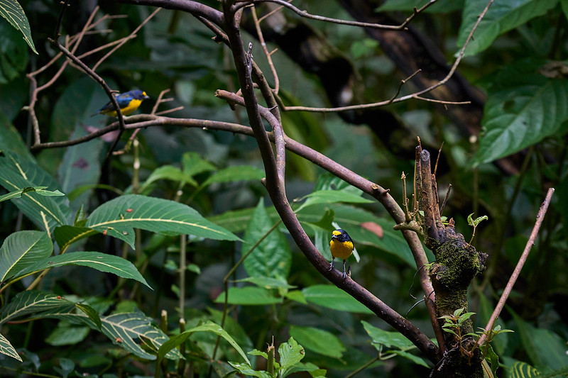 Yellow Throated Euphonias and a Blue-Grey Tanager at Ecocentro Danaus