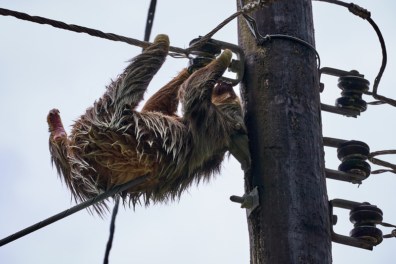A two-toed sloth precariously hanging from power lines in Costa Rica