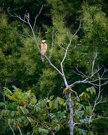 The seldom-seen Laughing Falcon, a snake eater, near Rio Parismina