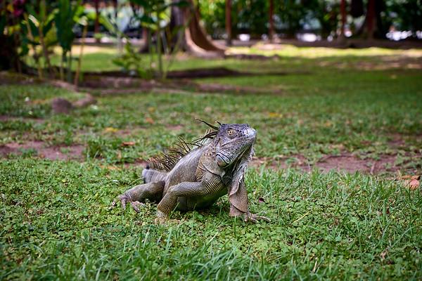 The iguanas of Mawamba Lodge