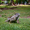 The iguanas of Mawamba Lodge