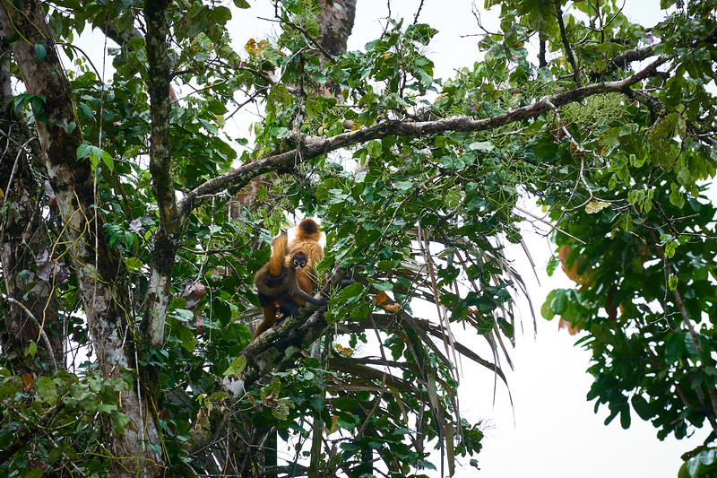 Spider monkeys above the Rio Caño Negro