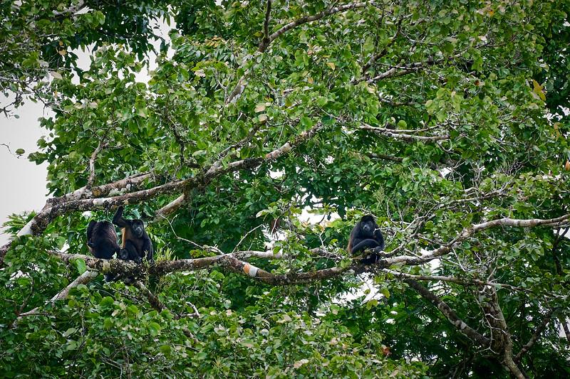 Howler monkeys in Tortugero National Park