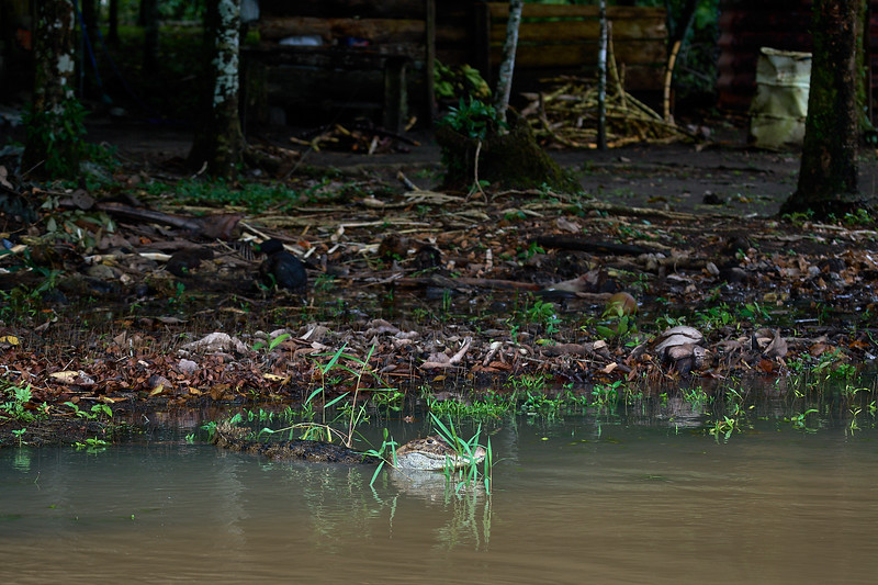 A small Caiman hanging out near a small village on the Rio Parismina