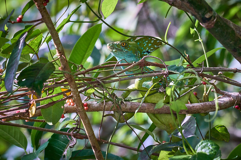 The Basiliscus, also known as the Jesus Christ Lizard for its ability to run on water