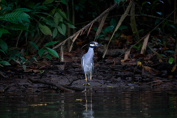 Yellow Crowned Night Heron in Tortuguero National Park