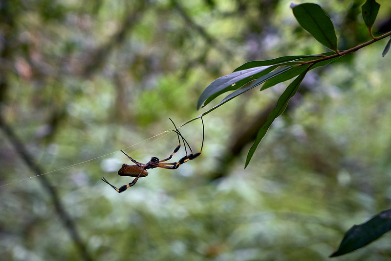 Golden Silk Orbweaver on the Sendero Las Coladas trail near Arenal