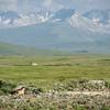 Marmot on the Deosai plateau