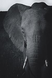 Elephant, Masaï Mara National Reserve, Kenya