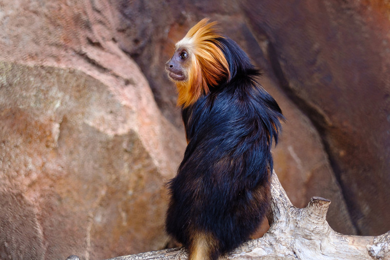 Golden Lion Tamarin Monkey at Batu Secret Zoo
